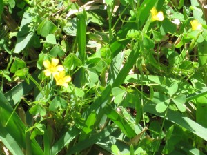 Amongst the weeds and overgrown grass, beautiful little yellow flowers blossom.