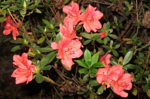 Coral azaleas in bloom in November!
